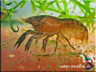 Cambarellus Patzcuarensis sp. Schoko