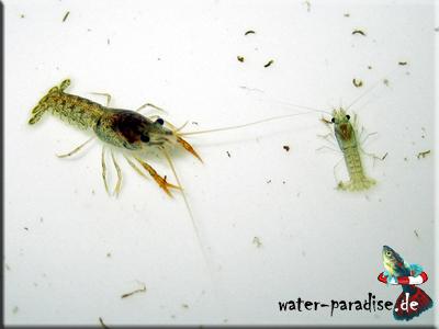 Cambarellus Patzcuarensis sp. Schoko - CPS - Schoko Zwergkrebs