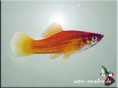 Schwertträger (Xiphophorus hellerii)