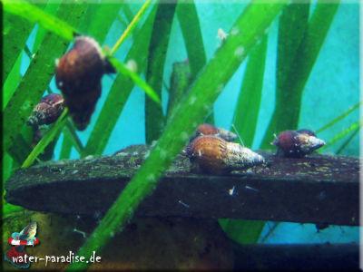 Genoppte Turmdeckelschnecken (Tarebia Granifera)