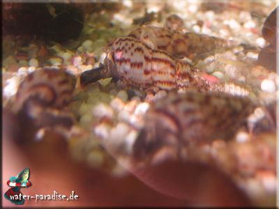 Malaiische Turmdeckelschnecken (Melanoides Tuberculata)