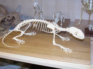 Marder Skelett