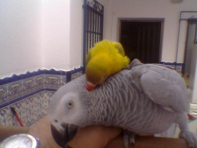 Agaponis jugando con Lupita