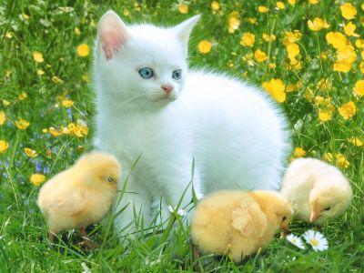 Ekleyen: Yağmur Su                      Kedi ve Civcivler