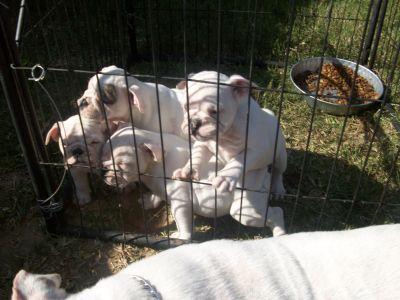 ZARCOBULLDOGS English Bulldog Breeders