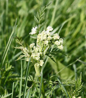 Kerbel, Wilder (Anthriscus sylvestris)