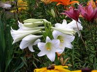 Lilia biała