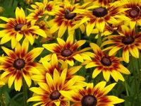 Miodówki-słoneczniki