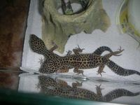 Leopardgecko adult