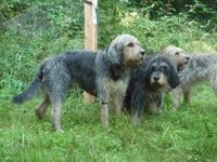 www.otterhound-fan-club.de/Otterhounds-%26-Friends/kat-13.htm