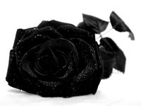 siyah gül