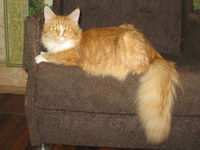 Vega Chris Maine Coons *BY