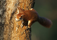 Variable Squirrel