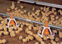 Pollos de engorde manual lawn